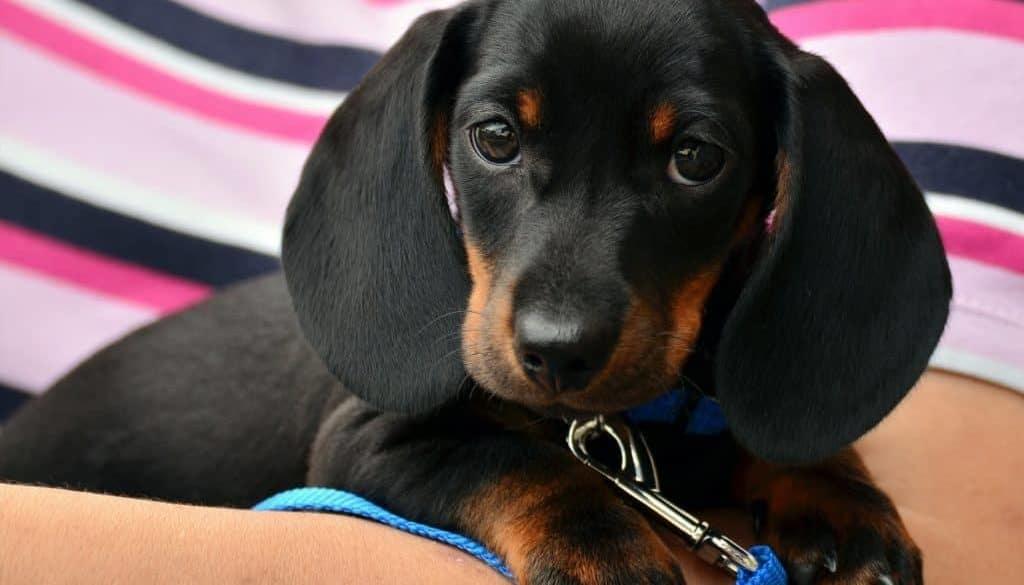 dachshund-1519374_1920